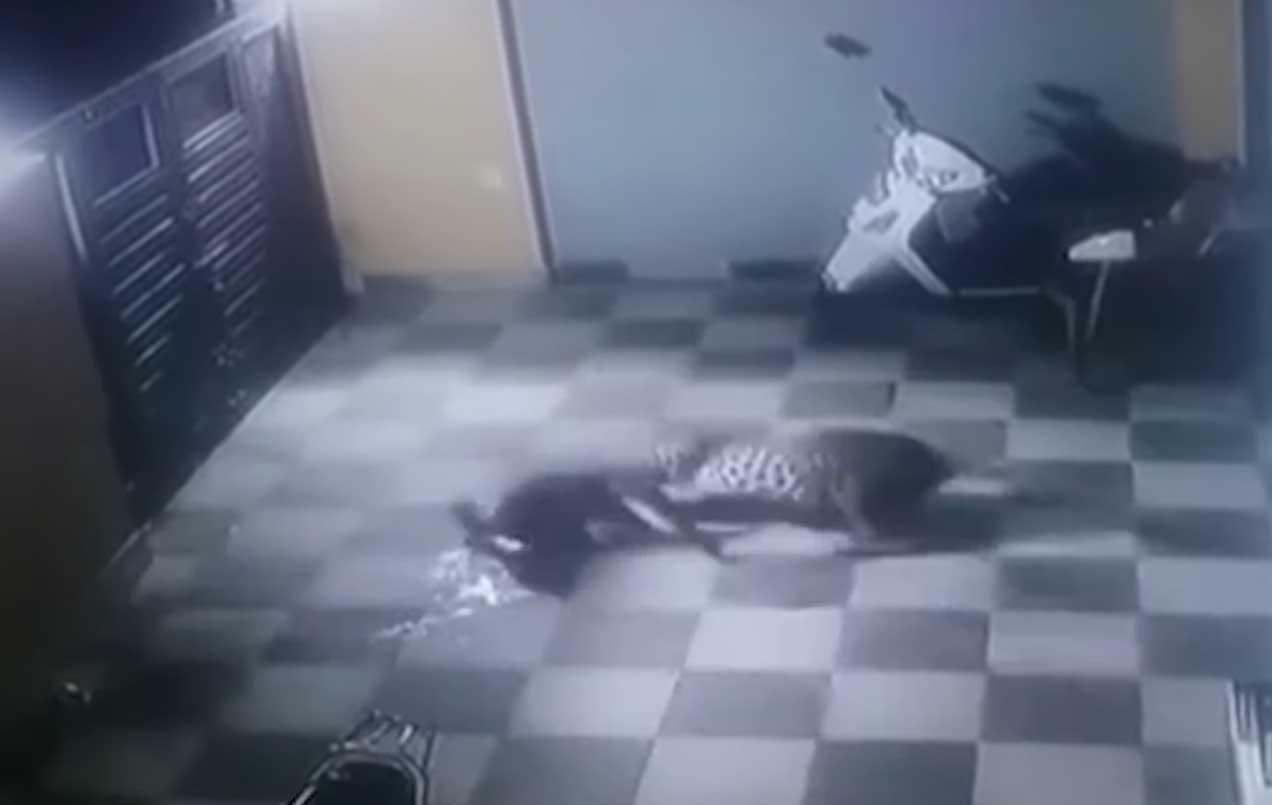Onça pula muro de residência e ataca cachorro com toda fúria; veja o vídeo