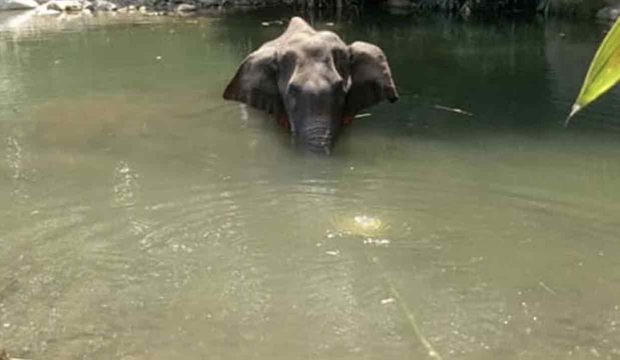 Morte de elefante grávida depois de comer abacaxi recheado de explosivos causa revolta na internet