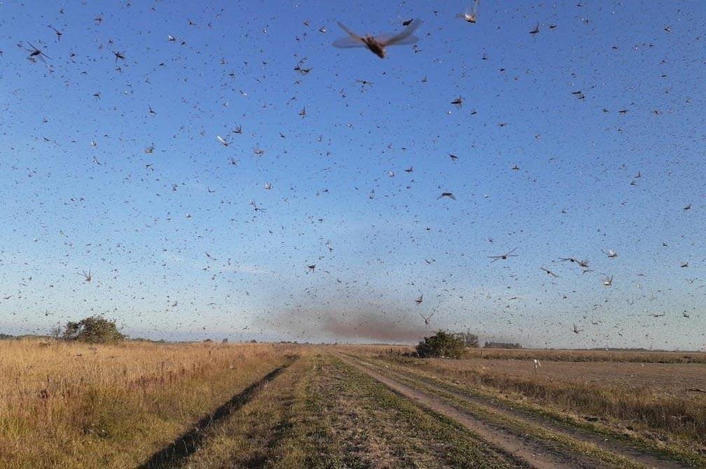 Vídeo: Nuvem de gafanhotos se aproxima do Brasil e deixa fronteira gaúcha em alerta