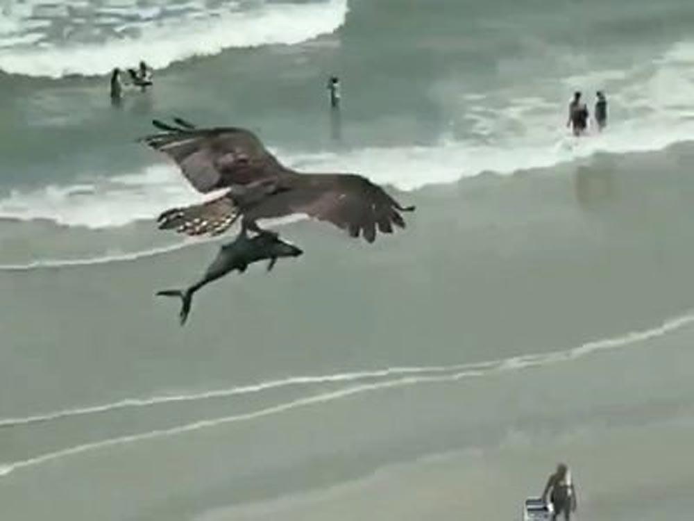 Águia apanha tubarão com as garras e sobrevoa praia com o animal. Veja as imagens