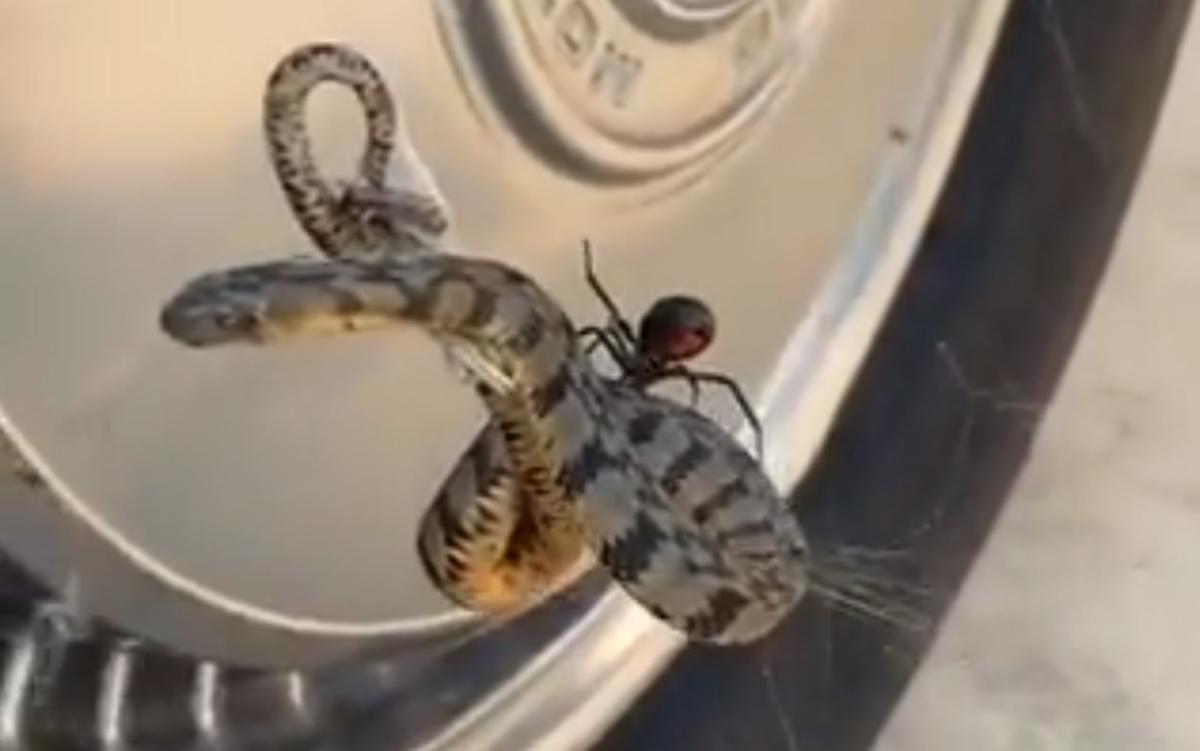 Aranha viúva negra usa teia para atacar cobra; veja o vídeo