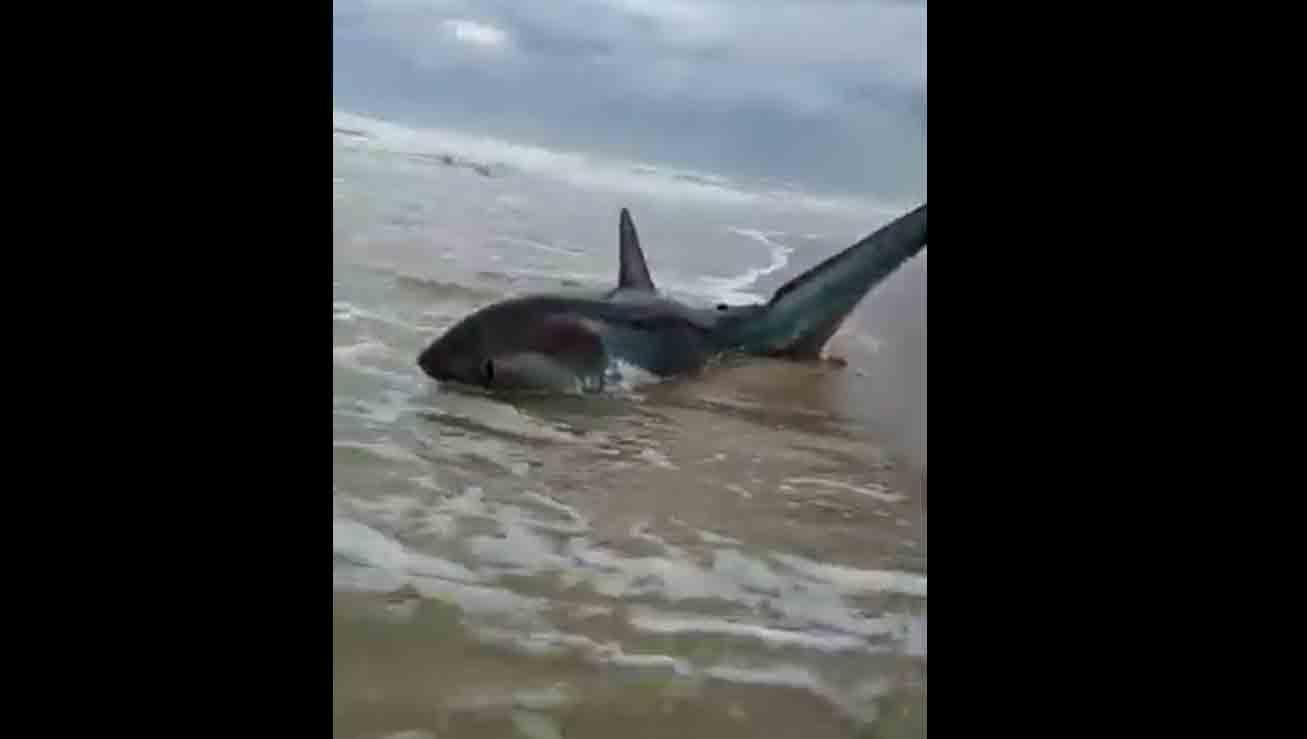 Tubarão-raposo de 2m encalha e é resgatado no Litoral Norte do RS; veja o vídeo. Foto: Reprodução Youtube
