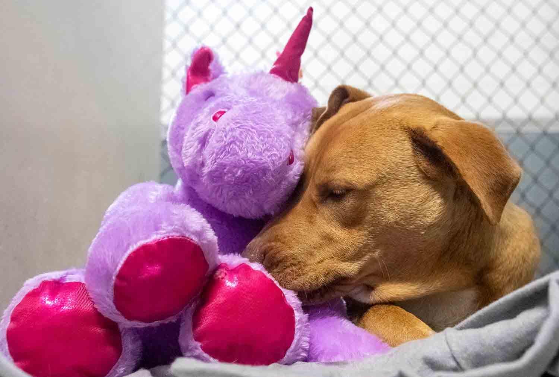 Cão de rua tenta roubar unicórnio de pelúcia 5 vezes até ganhar ele de presente. Foto: Reprodução facebook