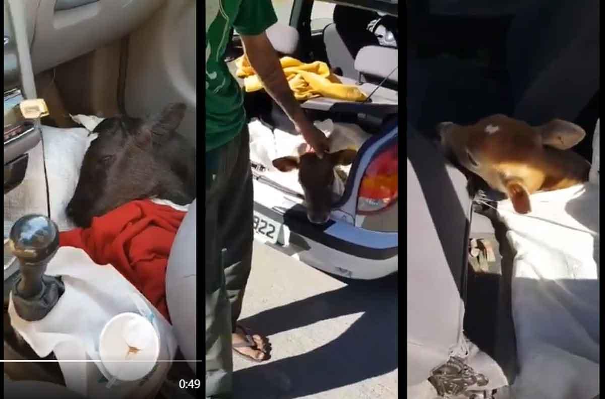 Polícia flagra Celta transportando três bezerros dentro. Foto: Reprodução Twitter