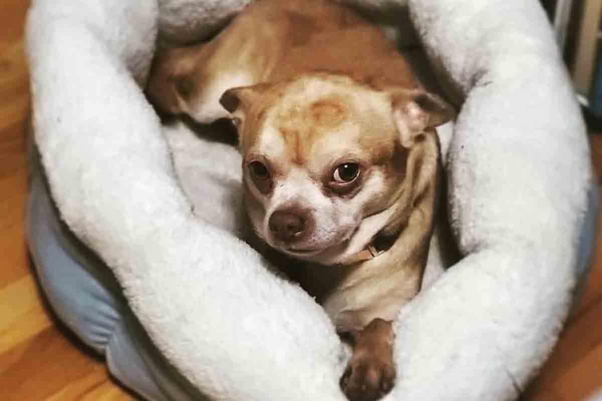 Descrito como bebê Chucky em corpo de cão, chihuahua consegue ser adotado (Foto: Reprodução/Instagram)